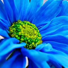 blue_daisy